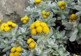 benefits-of-helichrysum-essential-oil.jpg