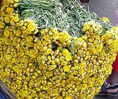helichrysum-oil.jpg