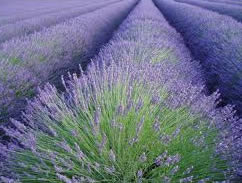 wholesale lavender essential oil