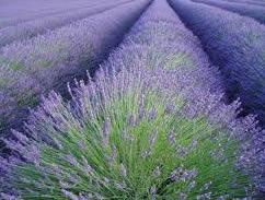 wholesale lavender essential oil